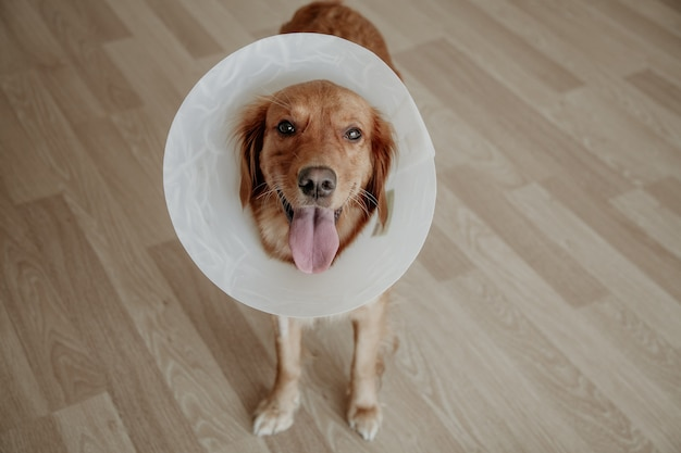 Dog wears  plastic cone