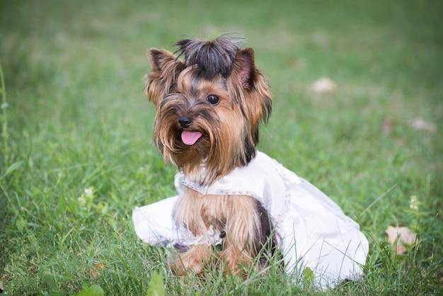 Dog in wedding dress in green grass.
