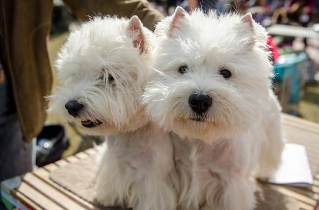 散歩中の犬のウエスト・ハイランド・ホワイト・テリア。 2 つの美しい白い犬が待機し、ドッグ ショーの競争に参加する準備をしています。