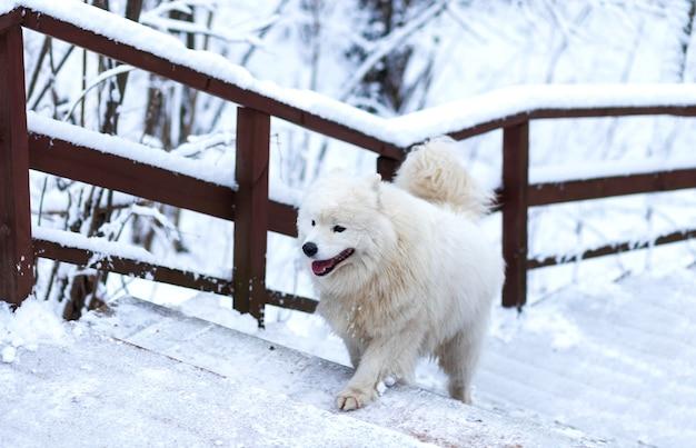 犬の白いサモエドは冬に雪の階段を登る