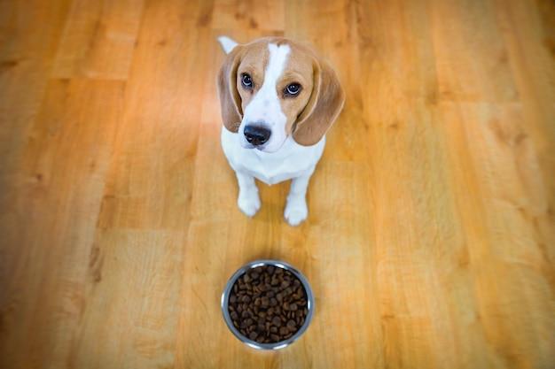 食べ物のボウルを持つ犬。ビーグル犬の子犬。