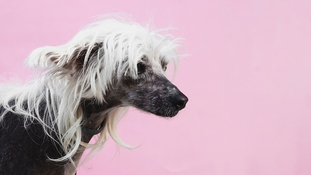 Dog with awesome haircut and copy space background