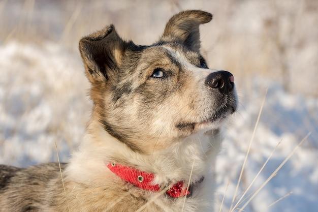 青い目の犬は冬の雪の中で遊ぶ、晴れた冬の日のペットの美しい肖像画