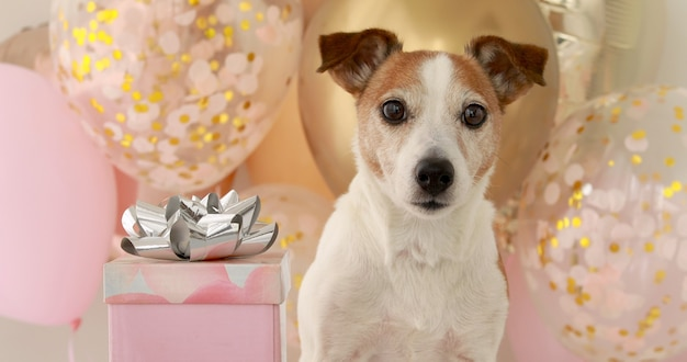 Dog with brown and white fur stands near birthday pack close