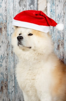 Dog with christmas hat on wooden wall, akita inu