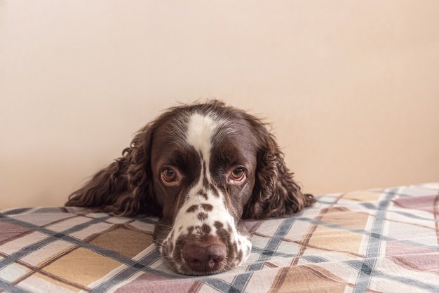Dog with cute sentimental eyes on bed