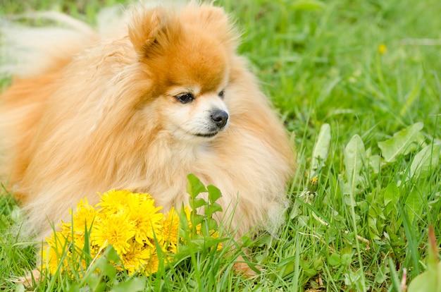 緑の芝生の上に花と犬。タンポポとポメラニアンスピッツ。花の配達。