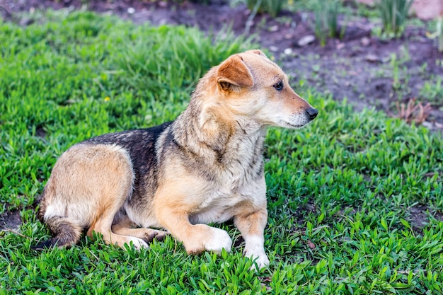 Dog with an injured foot lays on the green grass