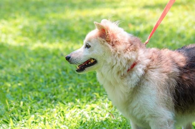 가죽 끈 개가 푸른 잔디에 공원에서 산책.