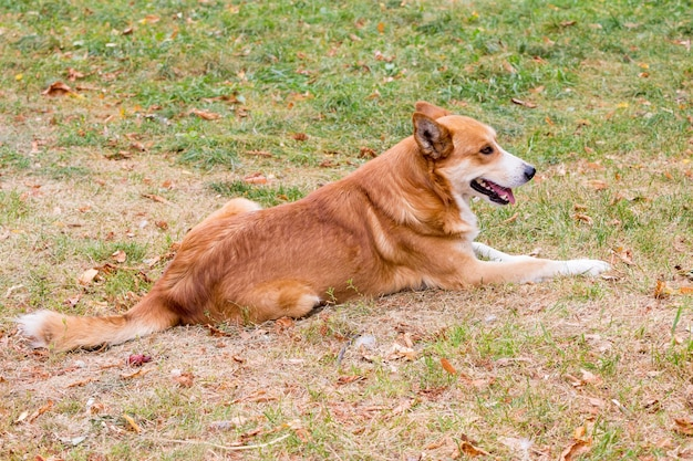 A dog with orange and white wool sits in a park on the grass_