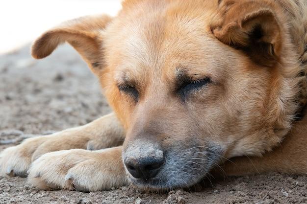 悲しそうな顔の犬。地球上に横たわっている悲しいジャーマンシェパードの女性。悲しい犬の目。