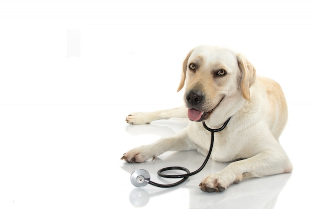 Dog with stethoscope lying down against white background.