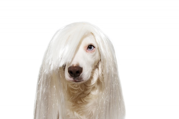 Dog with white wig isolated