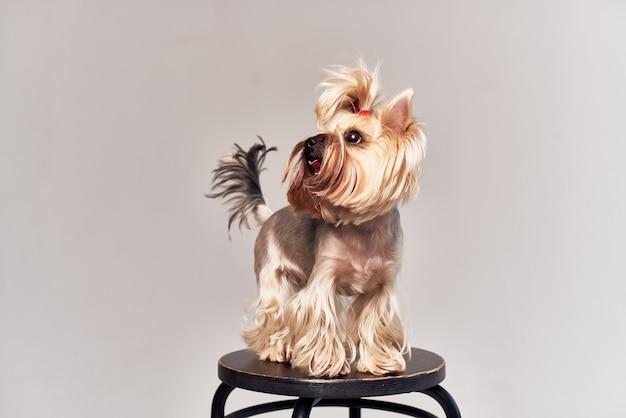 Студия позирования собаки йоркширского терьера