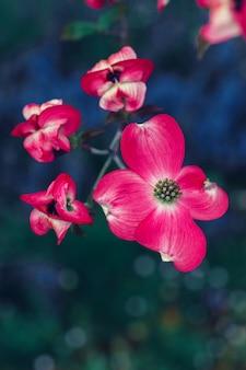 Dogflower blossom