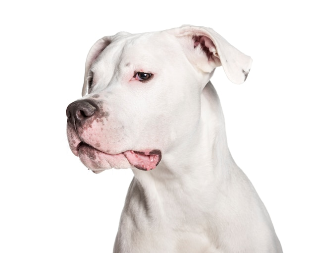 Dogo argentino looking at camera against white background