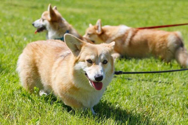 犬はサマーパークの芝生でコーギーを繁殖させます。高品質の写真