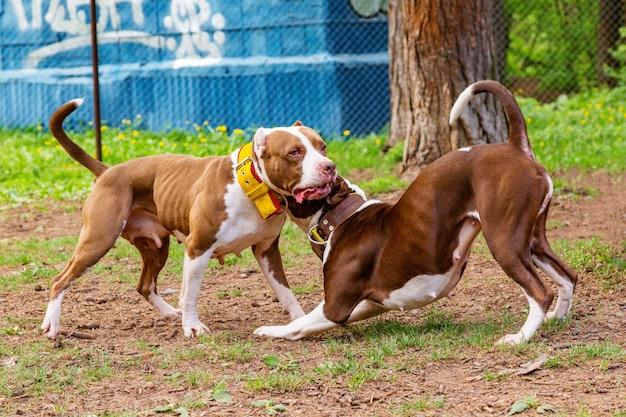 犬は公園の芝生で遊んで戦います。