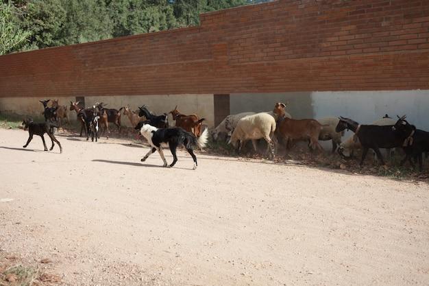 개들은 건물 그늘에서 염소와 양 떼를 풀을 뜯고 있습니다.