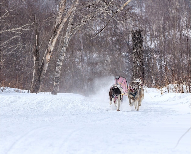 The dogs in harness pulling a sleigh competitions in winter