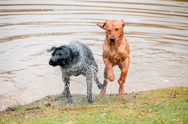 Dogs jumping out of a pond
