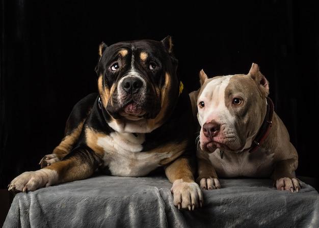 검은 배경에 아메리칸 깡패 품종의 개