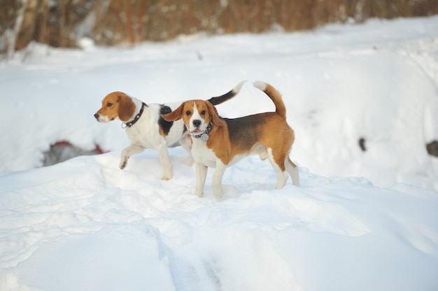 Собаки породы бигль зимой играют на снегу на природе.