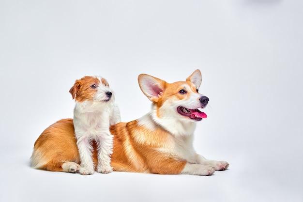 Собаки играют в студии на белом фоне смотрит сверху джек рассел терьер и вельш-корги, копирует пространство