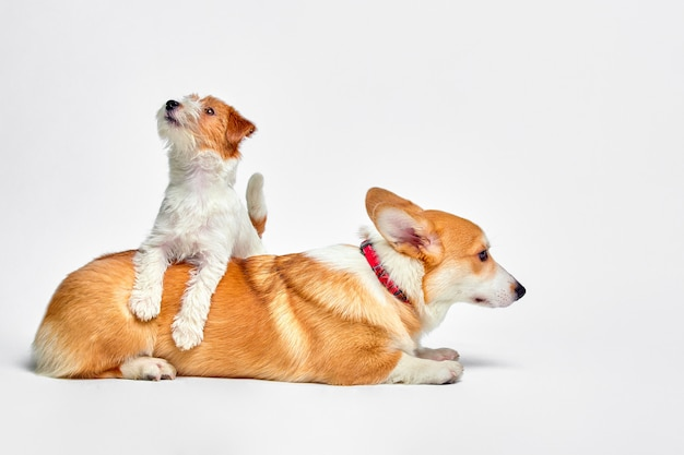 Dogs play in the studio on a white wall looks at the top of jack russell terrier and welsh corgi