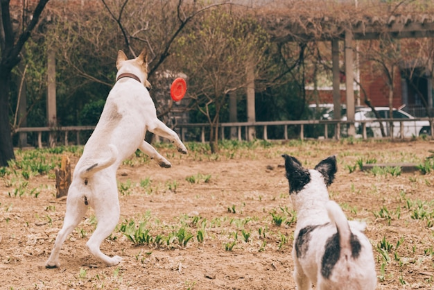 Dogs playing with frisbee