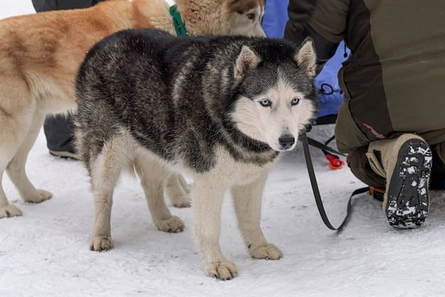 Dogs to ride in sleds before riding amid snow