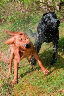 Dogs shaking water from their fur