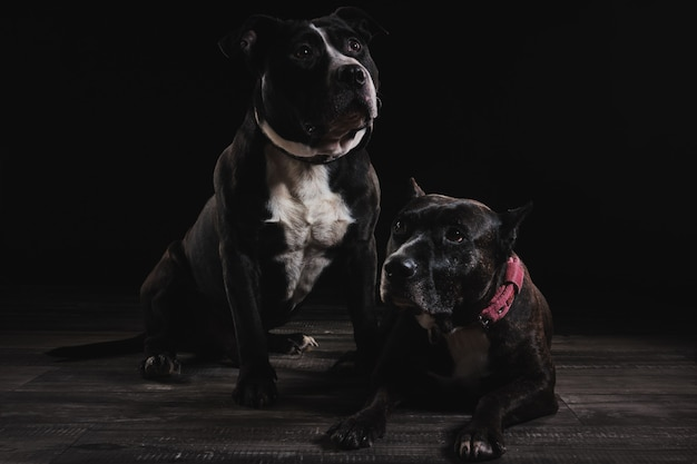 The dogs in studio