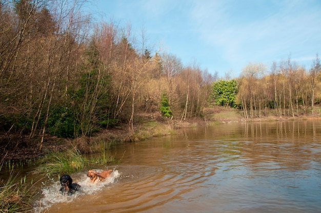 Dogs swimming in a pond