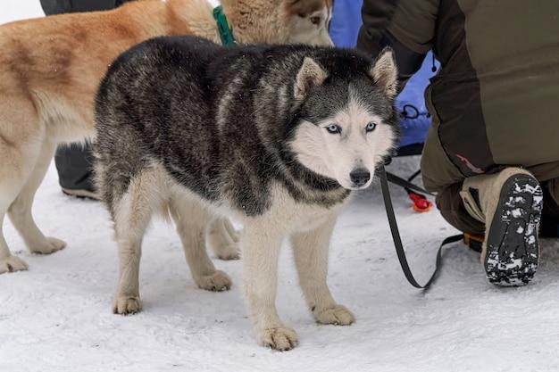 雪の中で乗る前にそりに乗る犬
