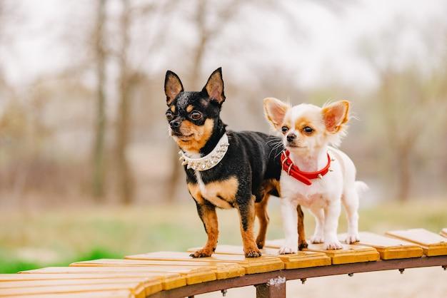 Собаки с ошейниками. две маленькие собаки чихуахуа на скамейке. симпатичные домашние животные на открытом воздухе.
