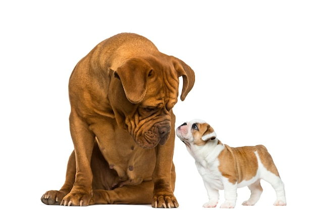 白の前でフレンチブルドッグの子犬を見ているボルドー・マスティ