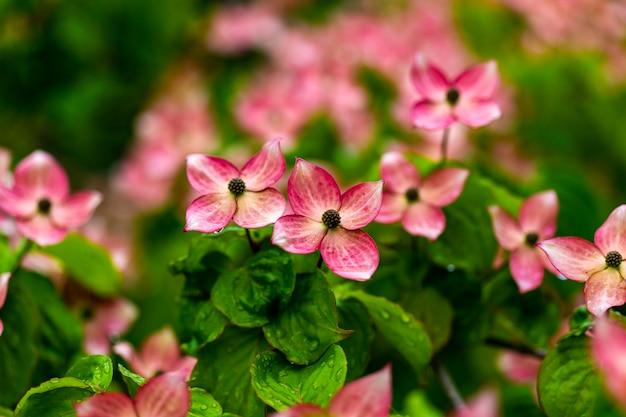 Dogwood tree flowers