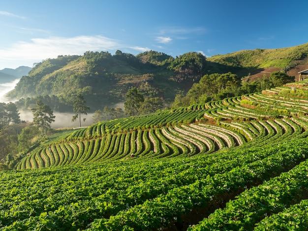 Doi ang khang landscape of strawberry garden with sunrise at doi ang khang ,chiang mai, thailand
