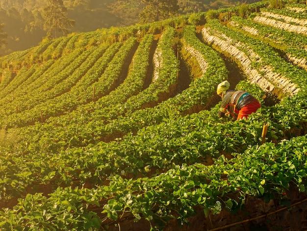 フィールドdoi angkhang、チェンマイタイのイチゴ農場