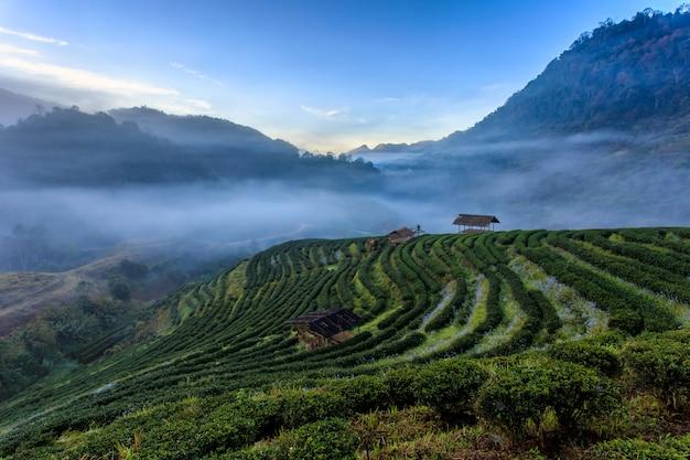 Чайная плантация красивый пейзаж известный туристический аттракцион в doi в doi ang khang, чиангмай, таиланд