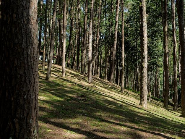 Сосновый лес в doi inthanon национальный парк, таиланд