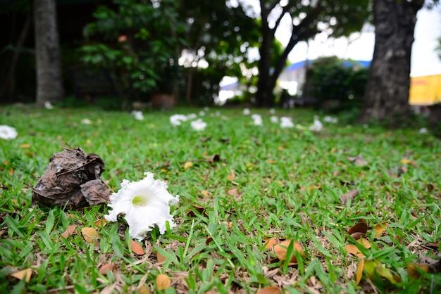 Dolichandrone serrulata of beutiful white flower cap on the meadow
