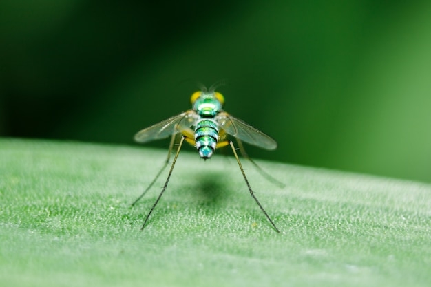 Dolichopodidae on the leaves are small, green body.