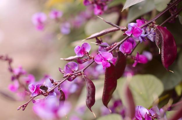 Dolichos lablab bean purple flower nature green