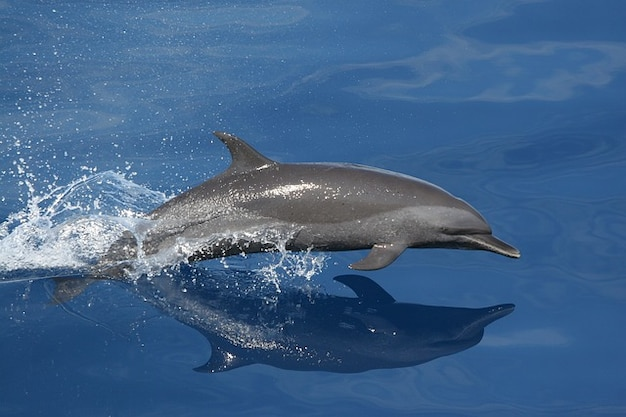 Dolphin jumping reflection ocean swimming sea