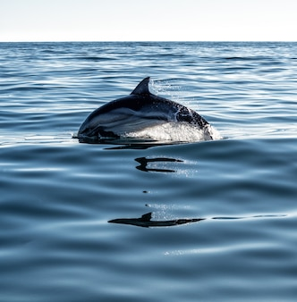 Dolphin jumping and swimming in sea water with splash