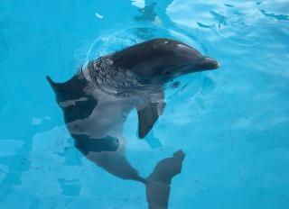 イルカは、哺乳動物