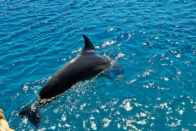 Dolphin in the red sea. eilat israel september 2018