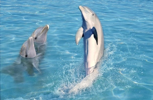 Dolphin show in caribbean tuquoise water